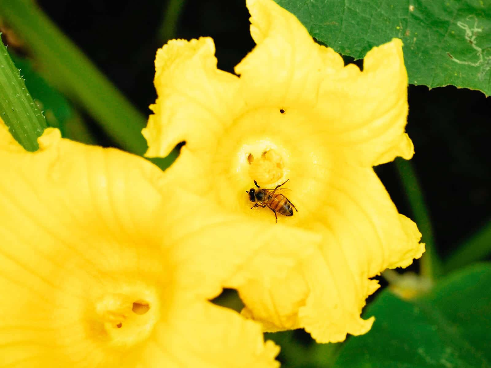Bee landing inside an open male squash blossom