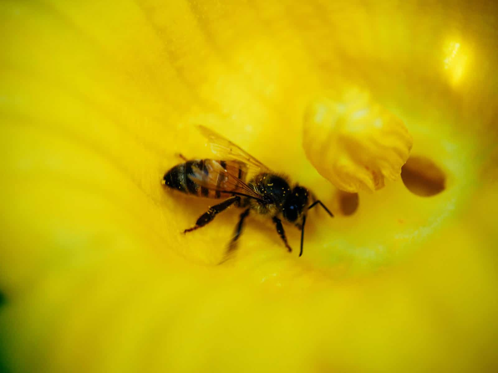 Bee gathering nectar and pollen from a male squash flower