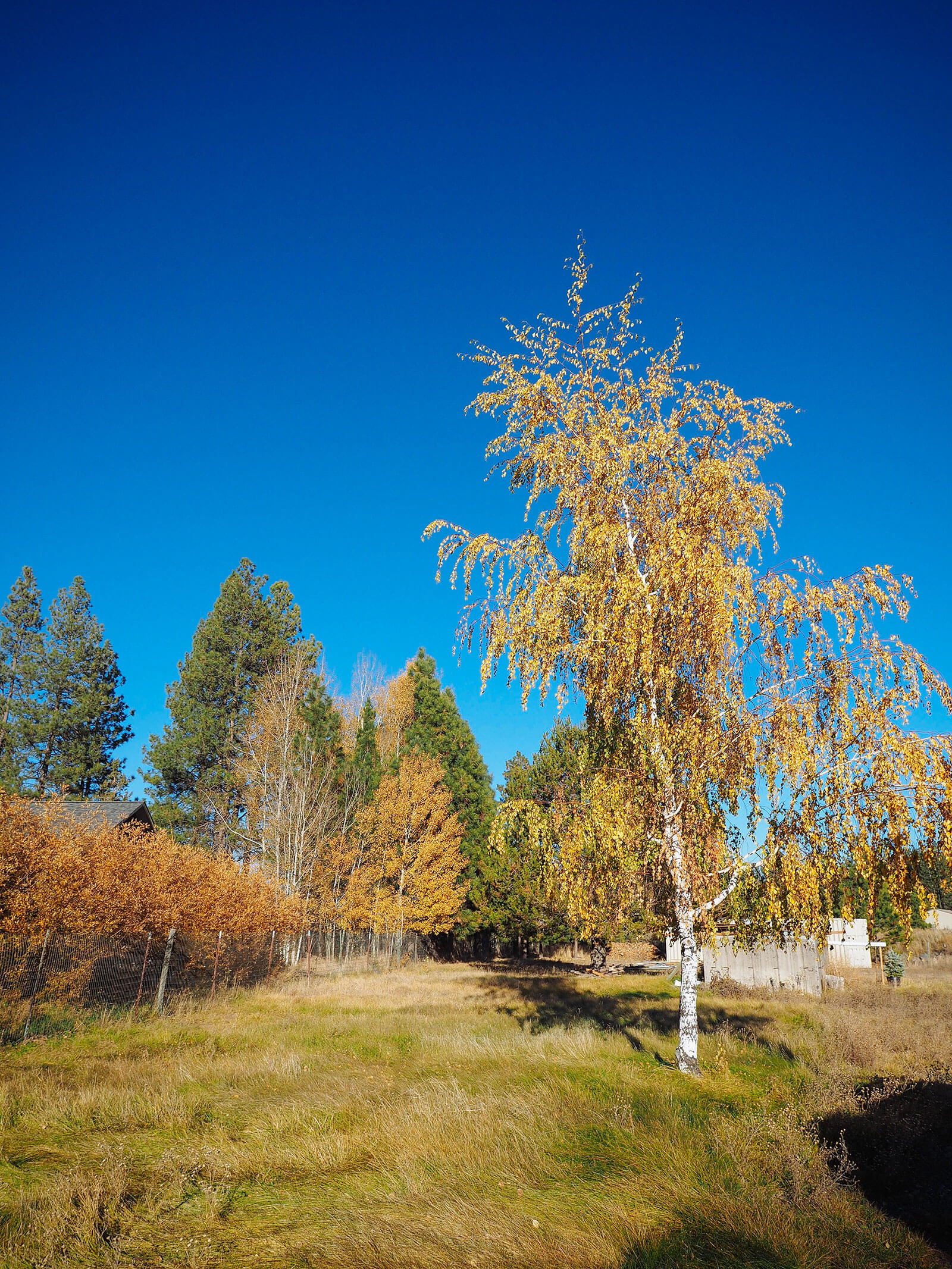 Golden deciduous trees on our rural property