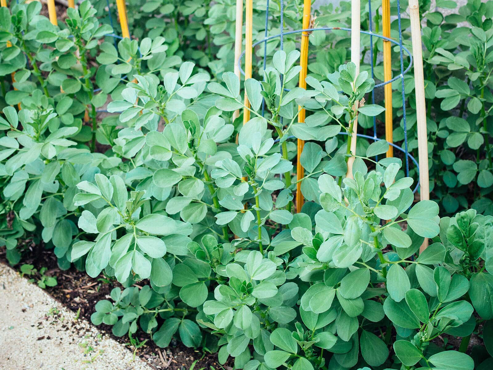 Fava bean plants supported with wire tomato cages and bamboo stakes