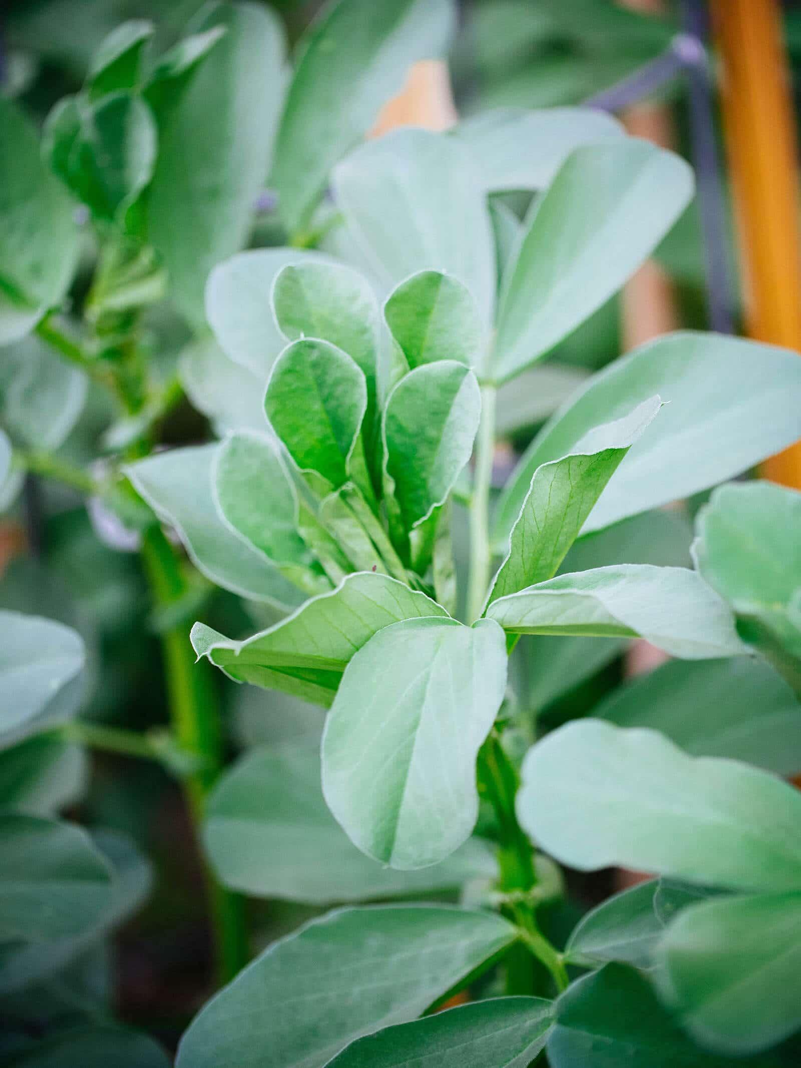 Broad bean leaves