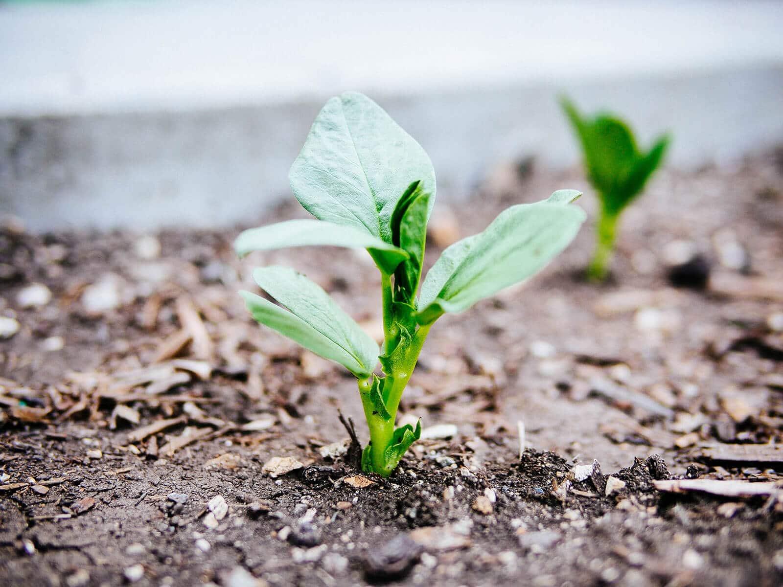 Broad bean seedling in the soil