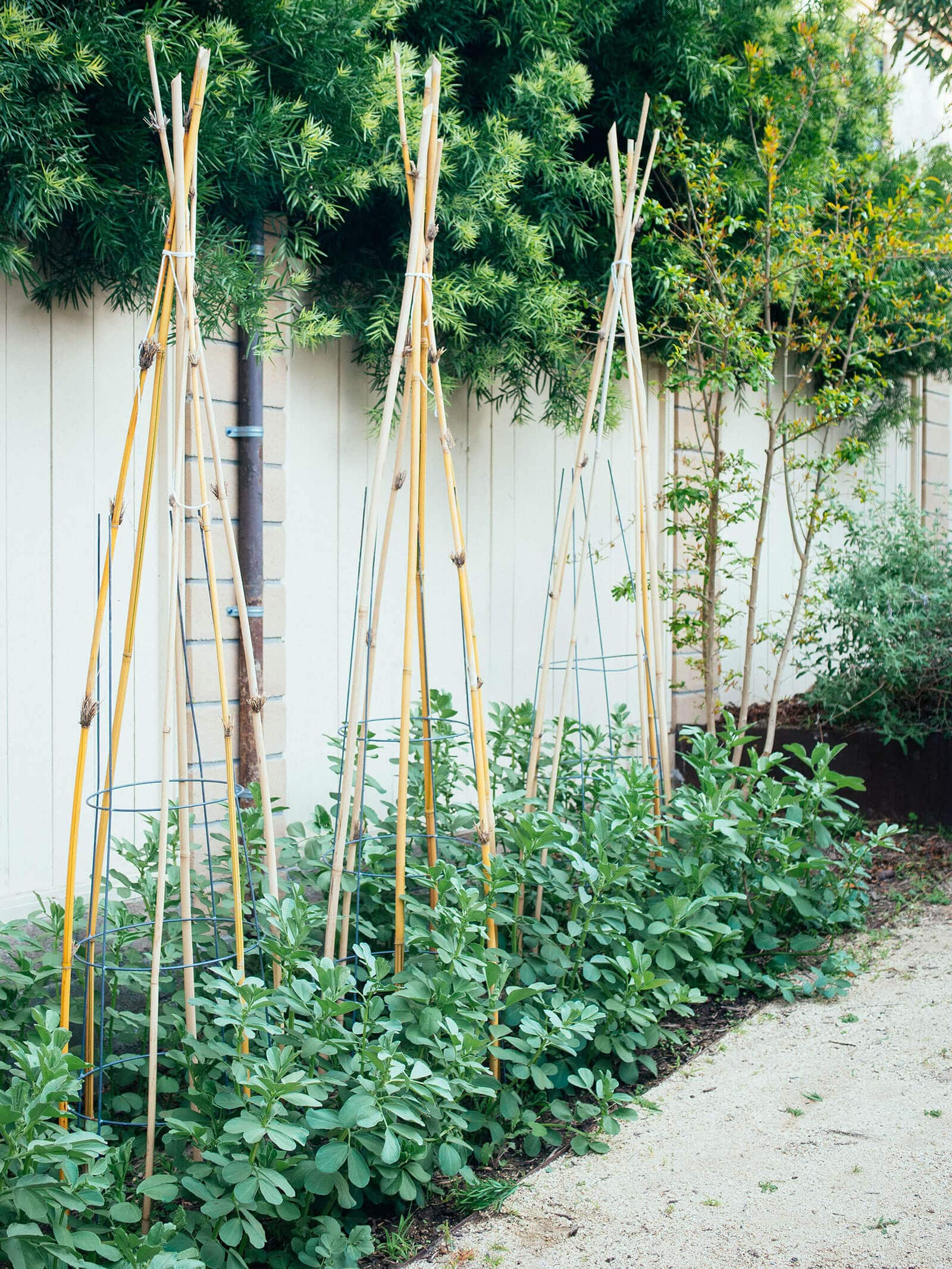 A row of fava bean plants supported with wire tomato cages and bamboo teepees