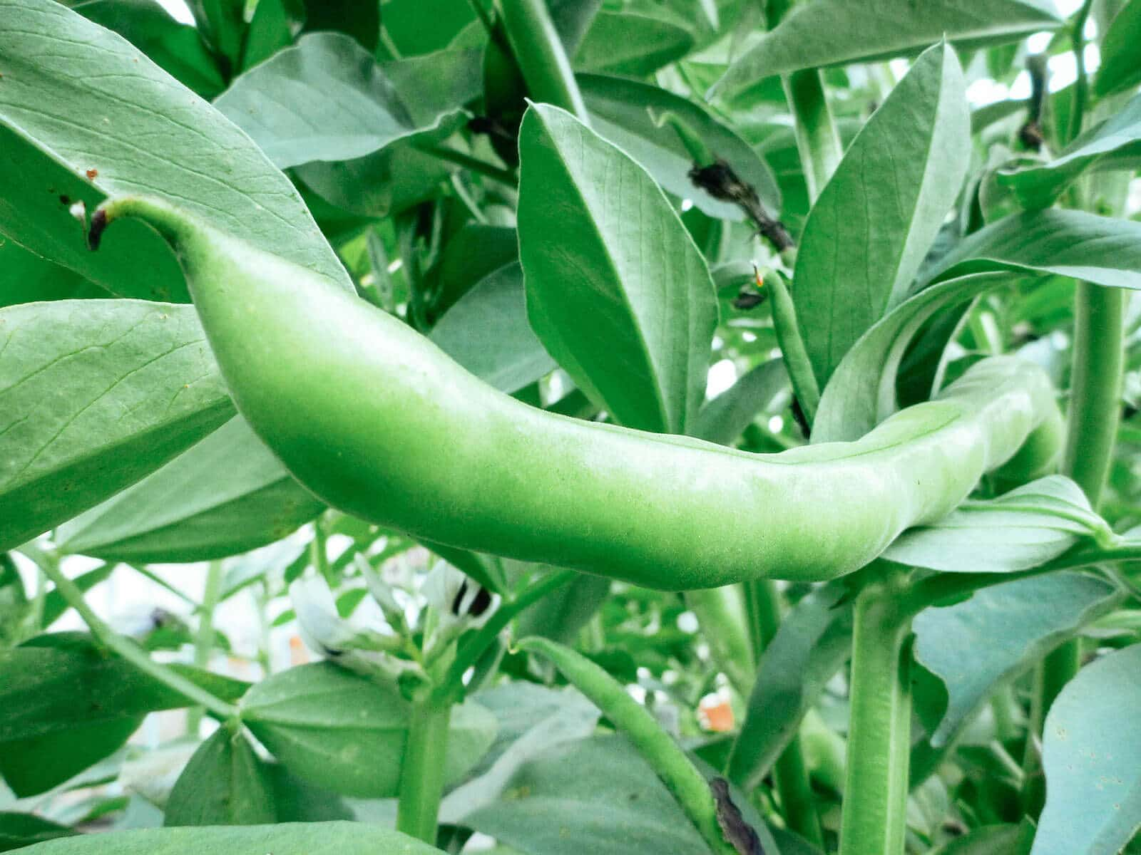 Close-up of mature fava bean pod