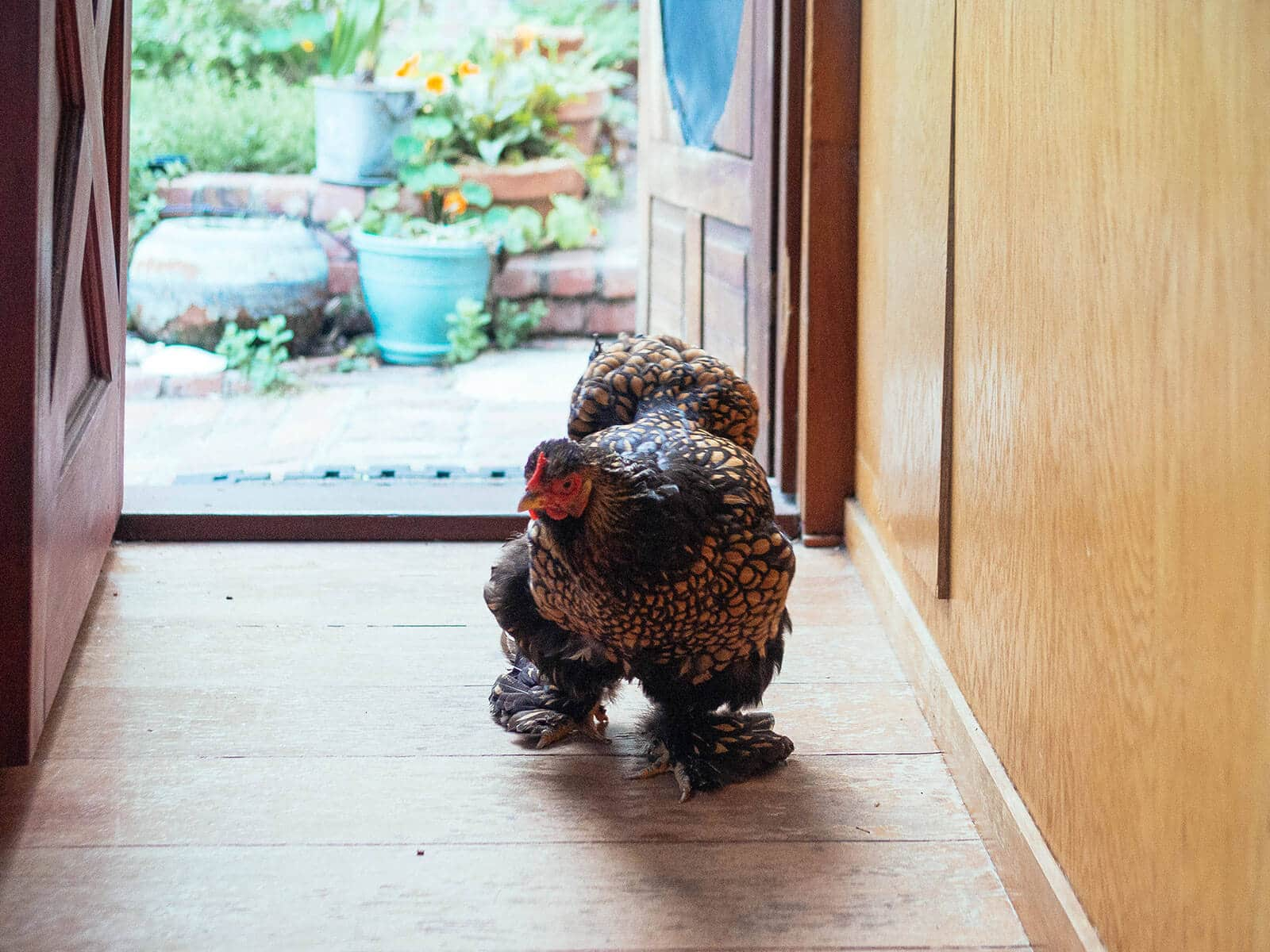 Cochin chicken walking into a house