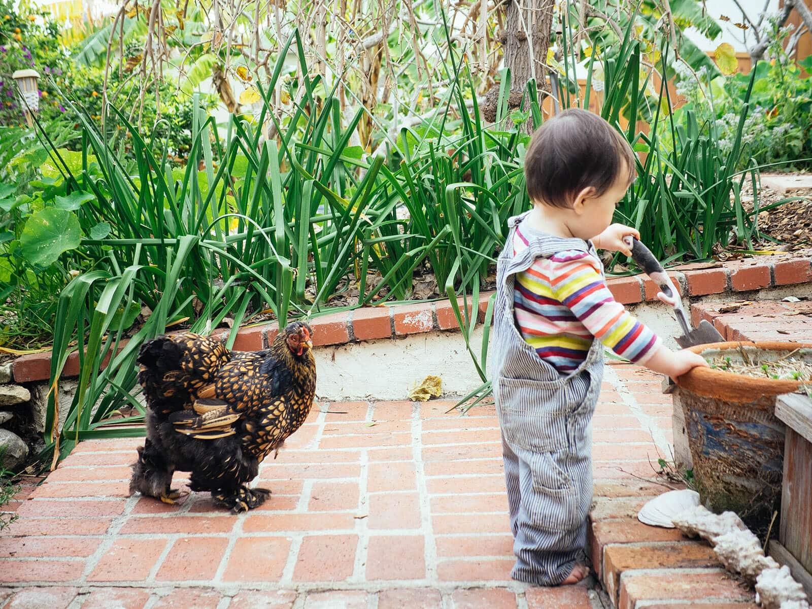 Cochin hen walking behind a toddler in the garden