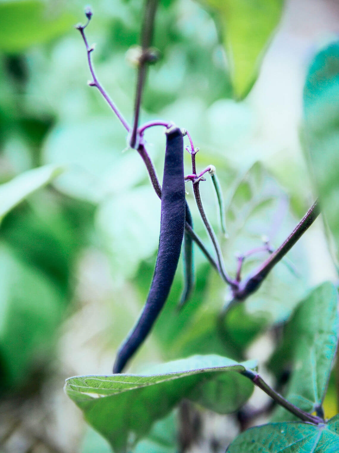 Why purple beans turn green after cooking (a kitchen magic trick!)