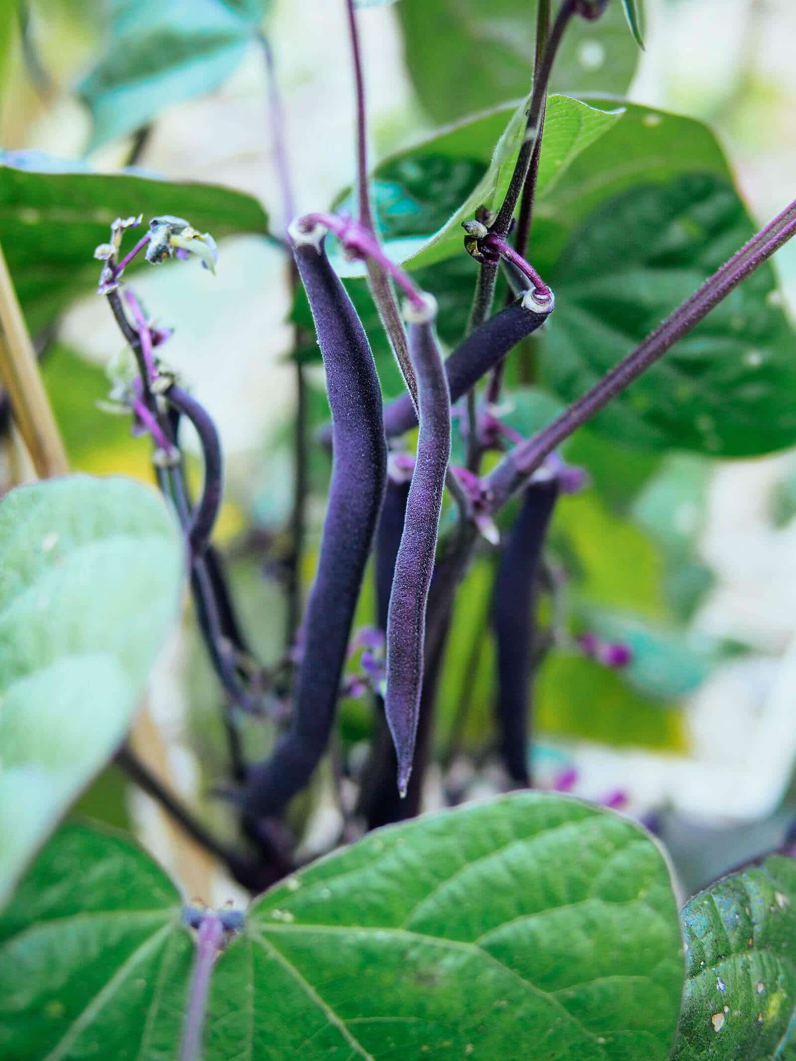 Cluster of Royal Burgundy bush beans surrounded by green leaves