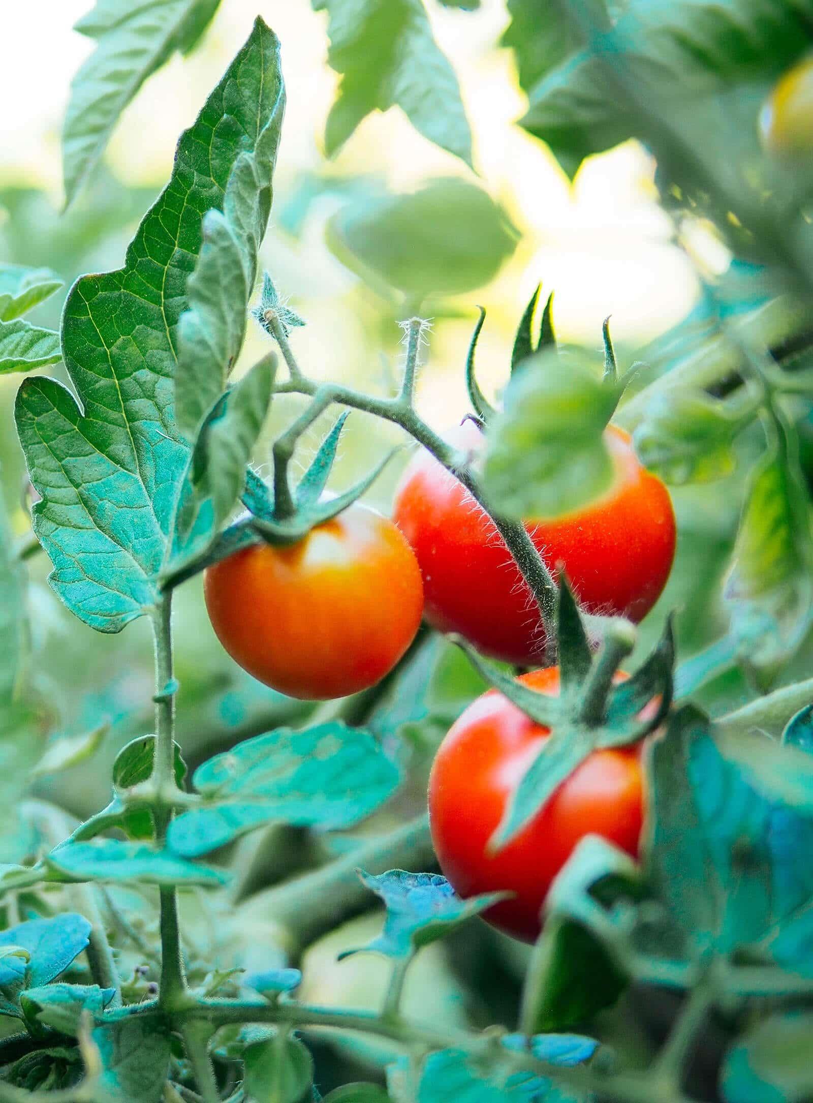 Ripe tomatoes on the vine