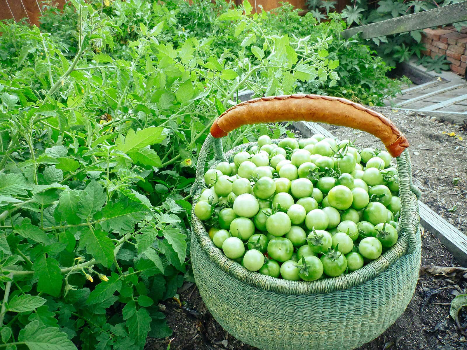 Basket of green cherry tomatoes harvested from the garden