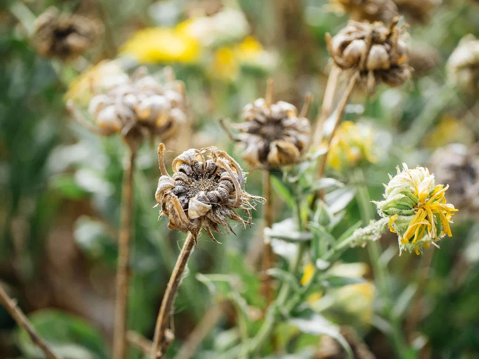 Close up of seedhead on dried calendula flower