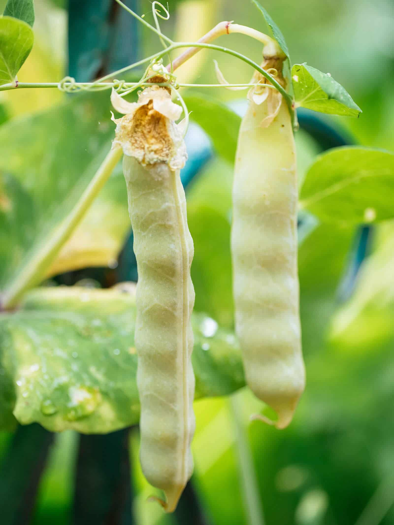 Mature golden snow pea pods bulging with seeds