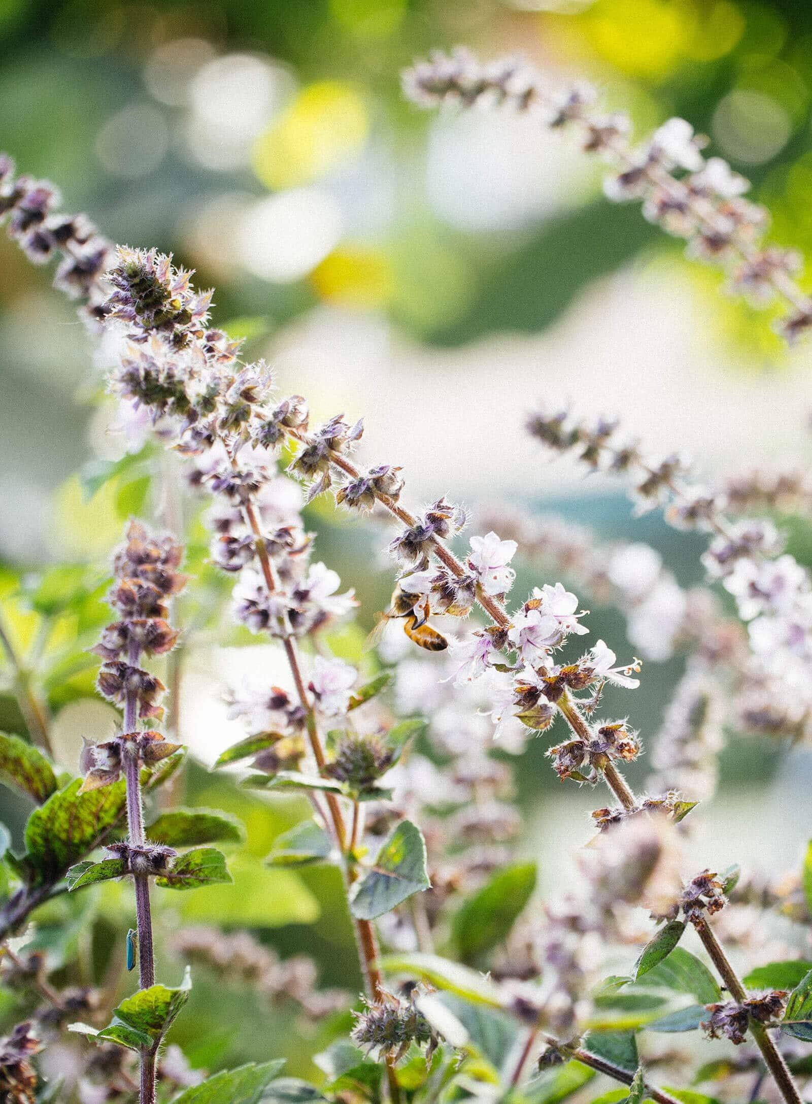 A bee feeding on basil flowers in the garden