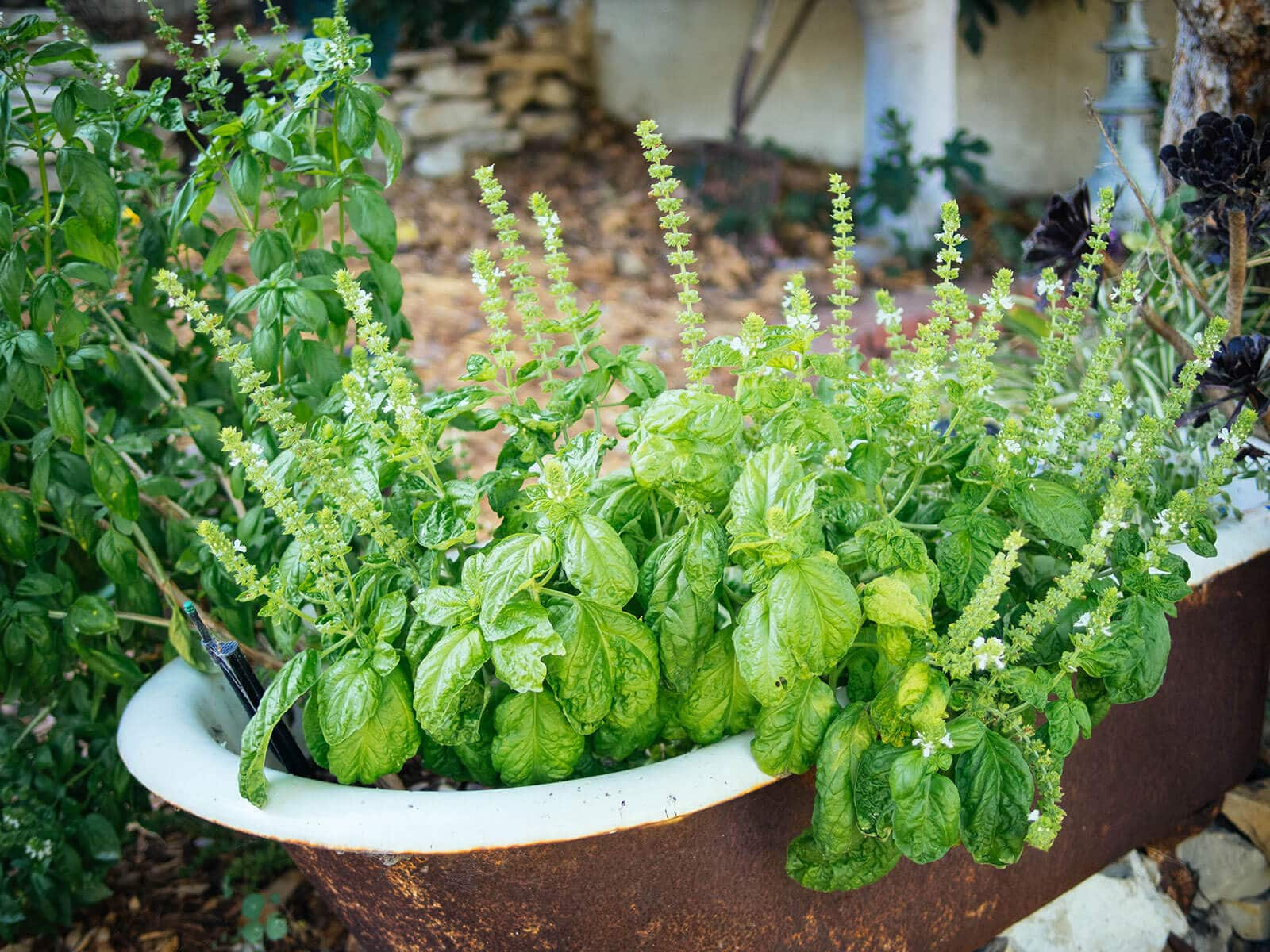 Lettuce Leaf basil ready to be harvested and preserved