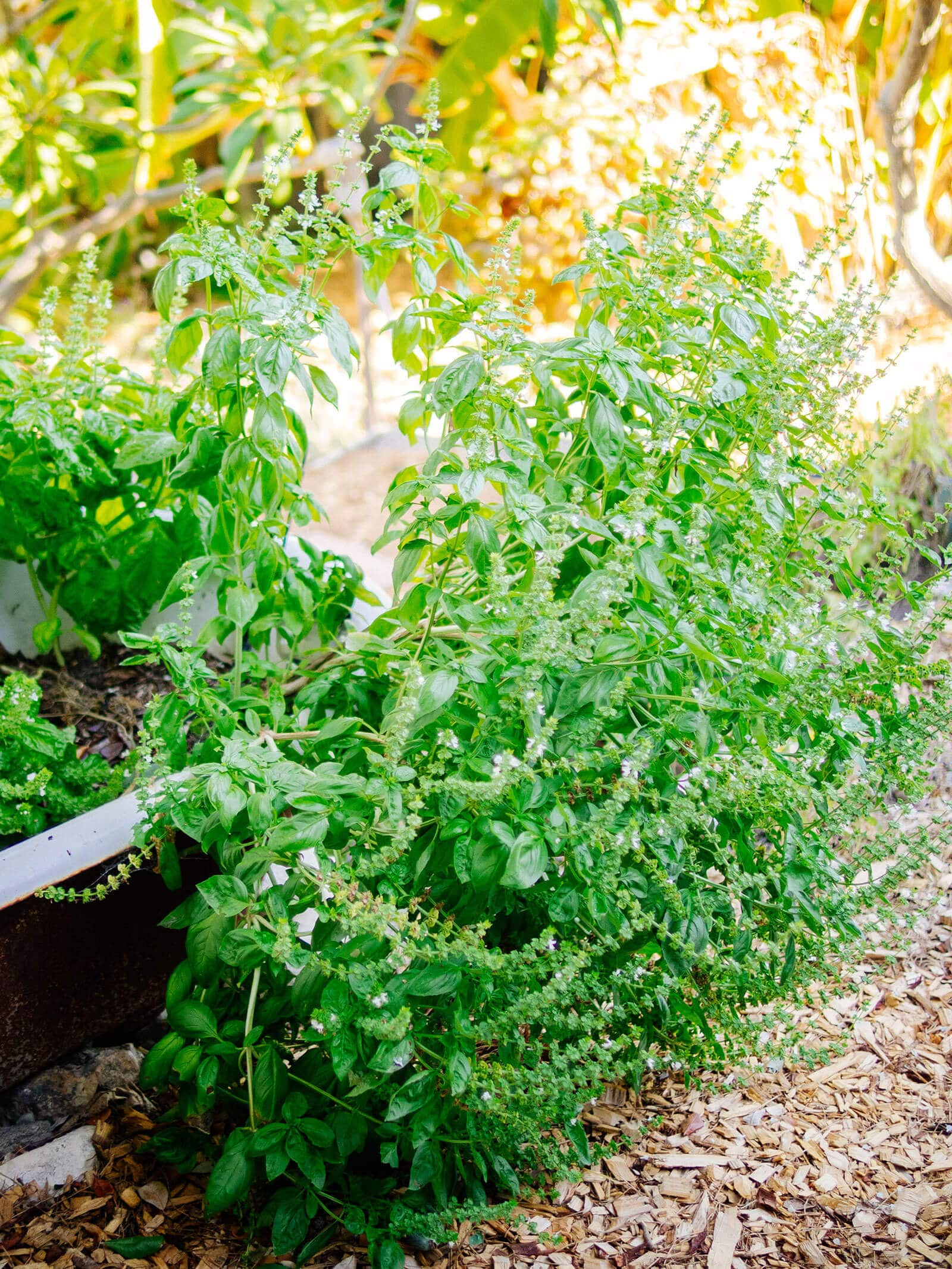 Overgrown Genovese basil plant in the garden