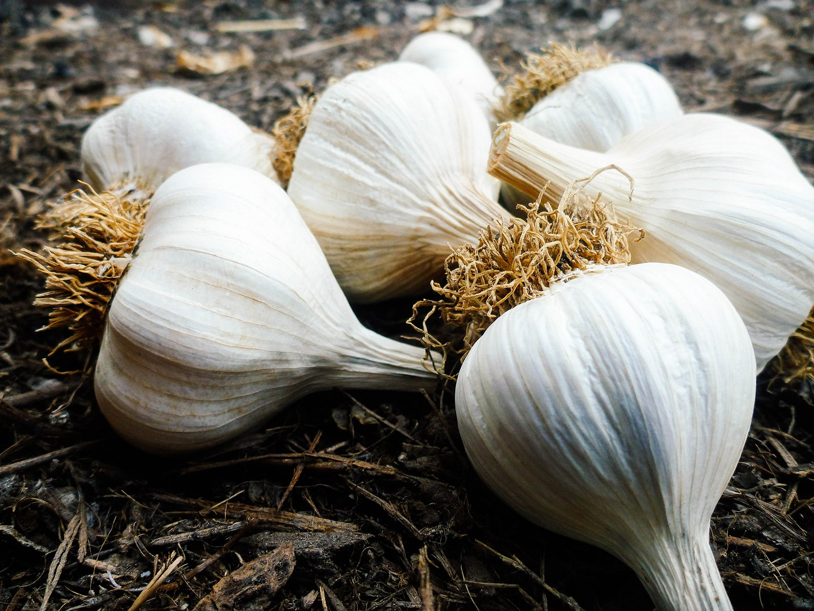 Homegrown garlic bulbs that can be used as seed garlic for next season
