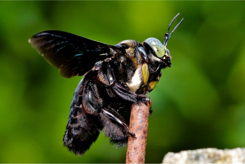 Close-up of a carpenter bee clinging to a stick