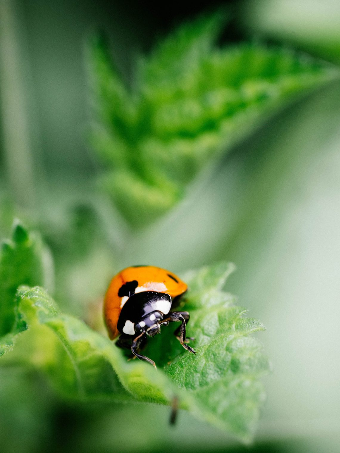 How to attract ladybugs to your garden (and why you want to)