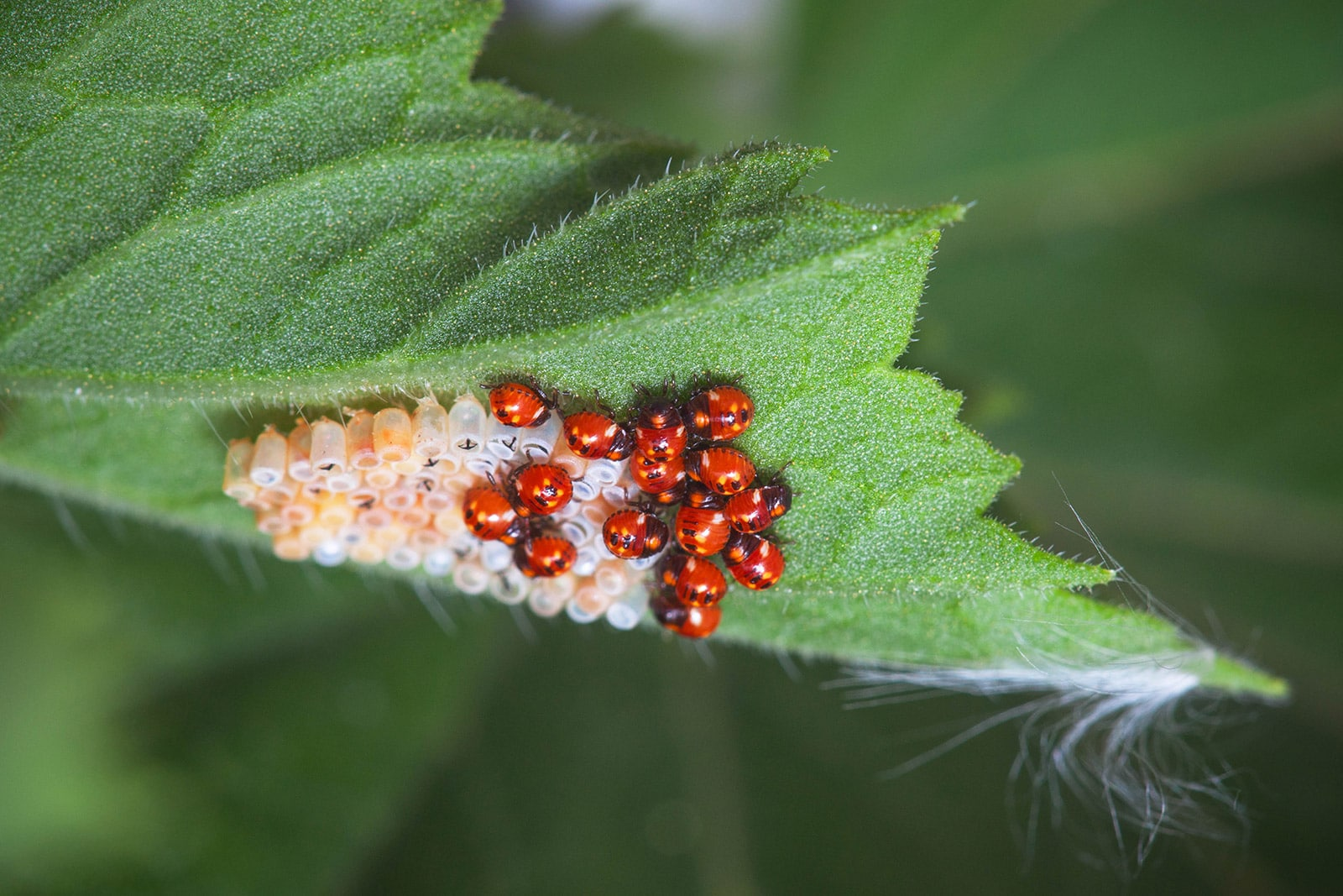 Cluster of ladybugs and ladybug eggs on the underside of a leaf