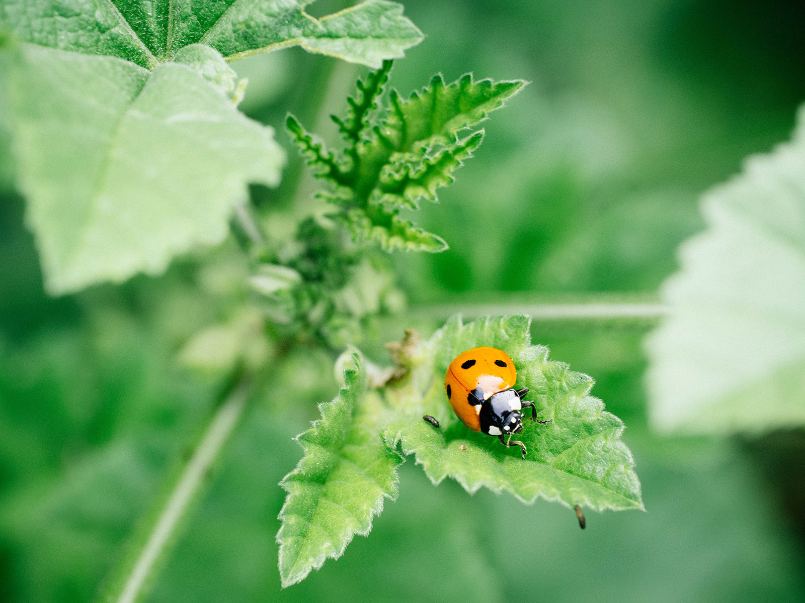 Close-up of a ladybird on a young mallow leaf