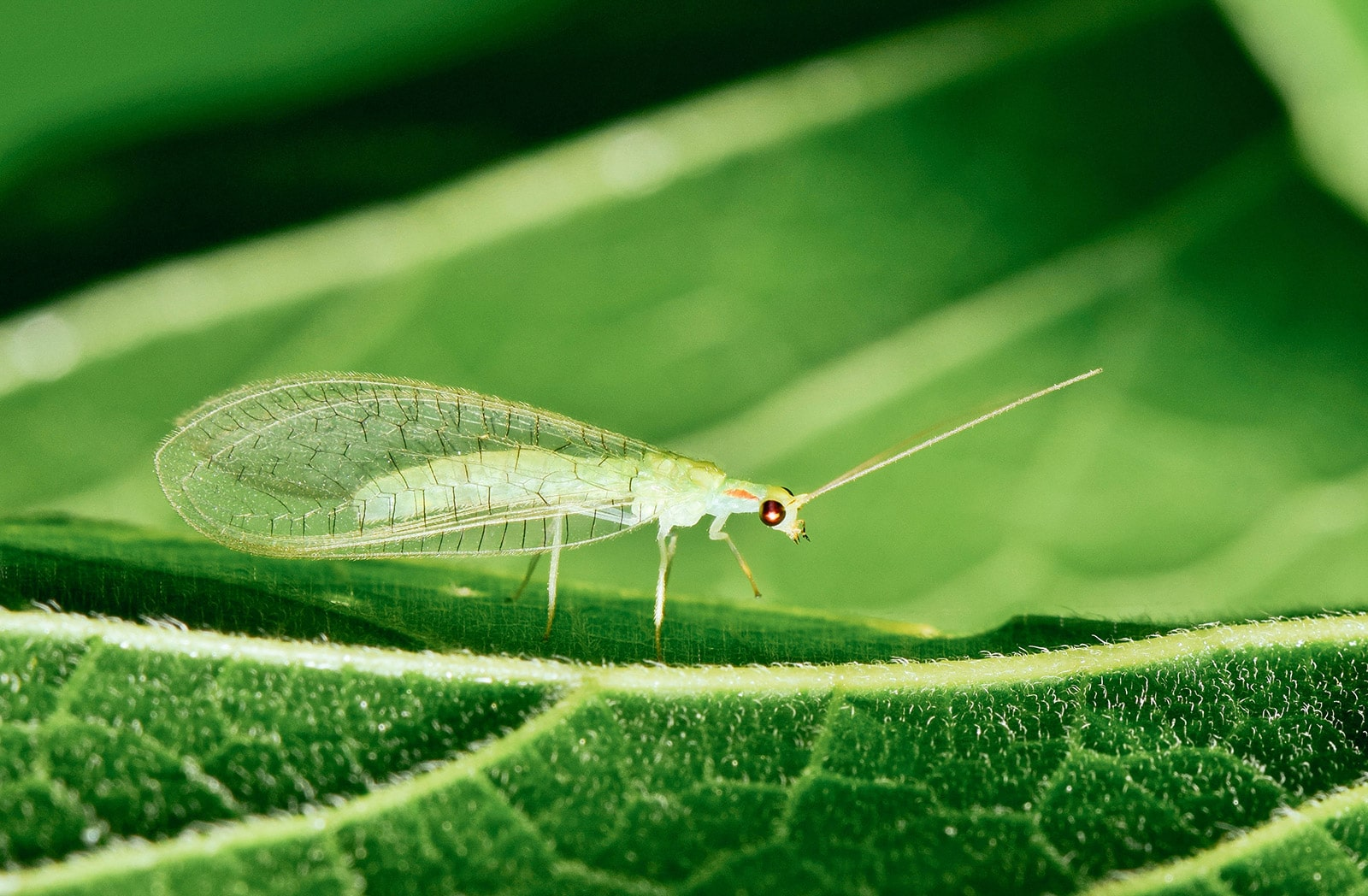 Close-up of adult green lacewing on a leaf