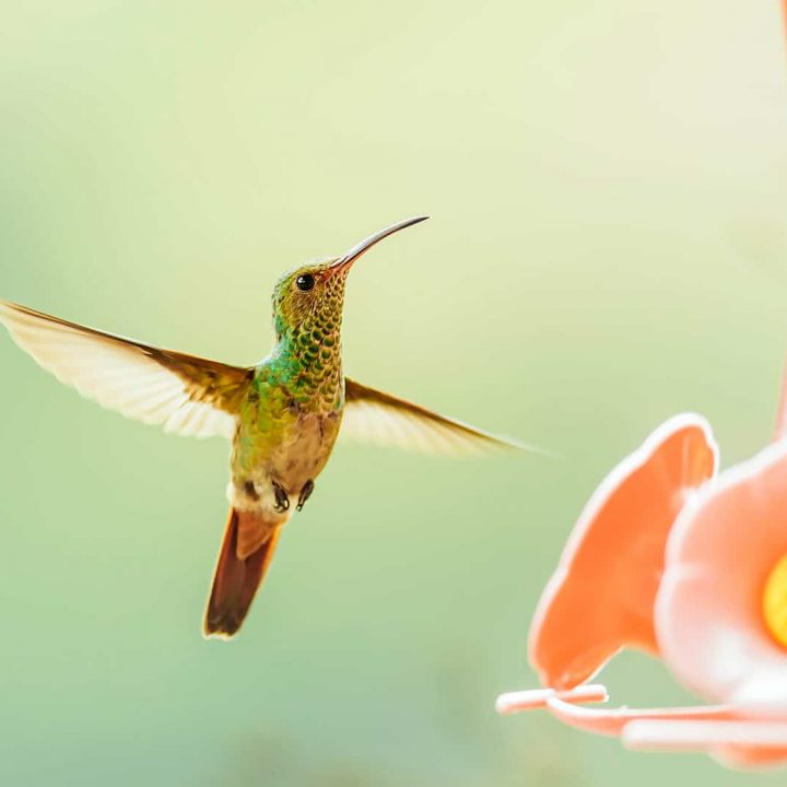 The best and easiest homemade hummingbird food recipe + what not to do