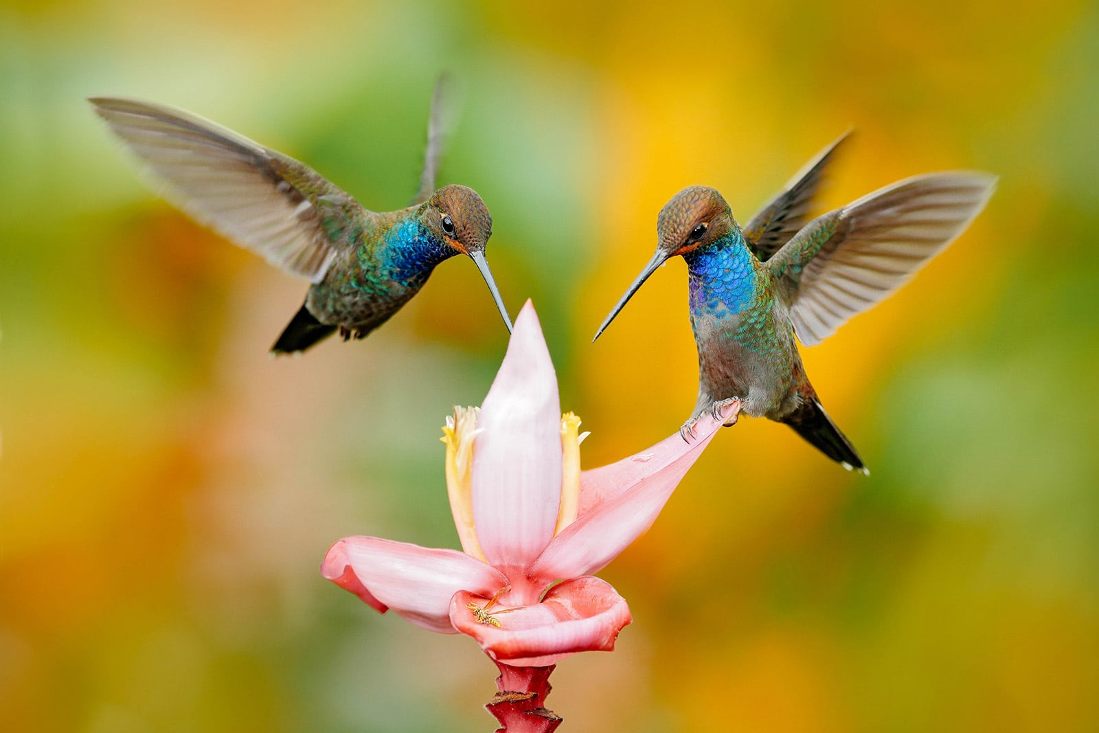 Two hummingbirds drinking from a pink flower
