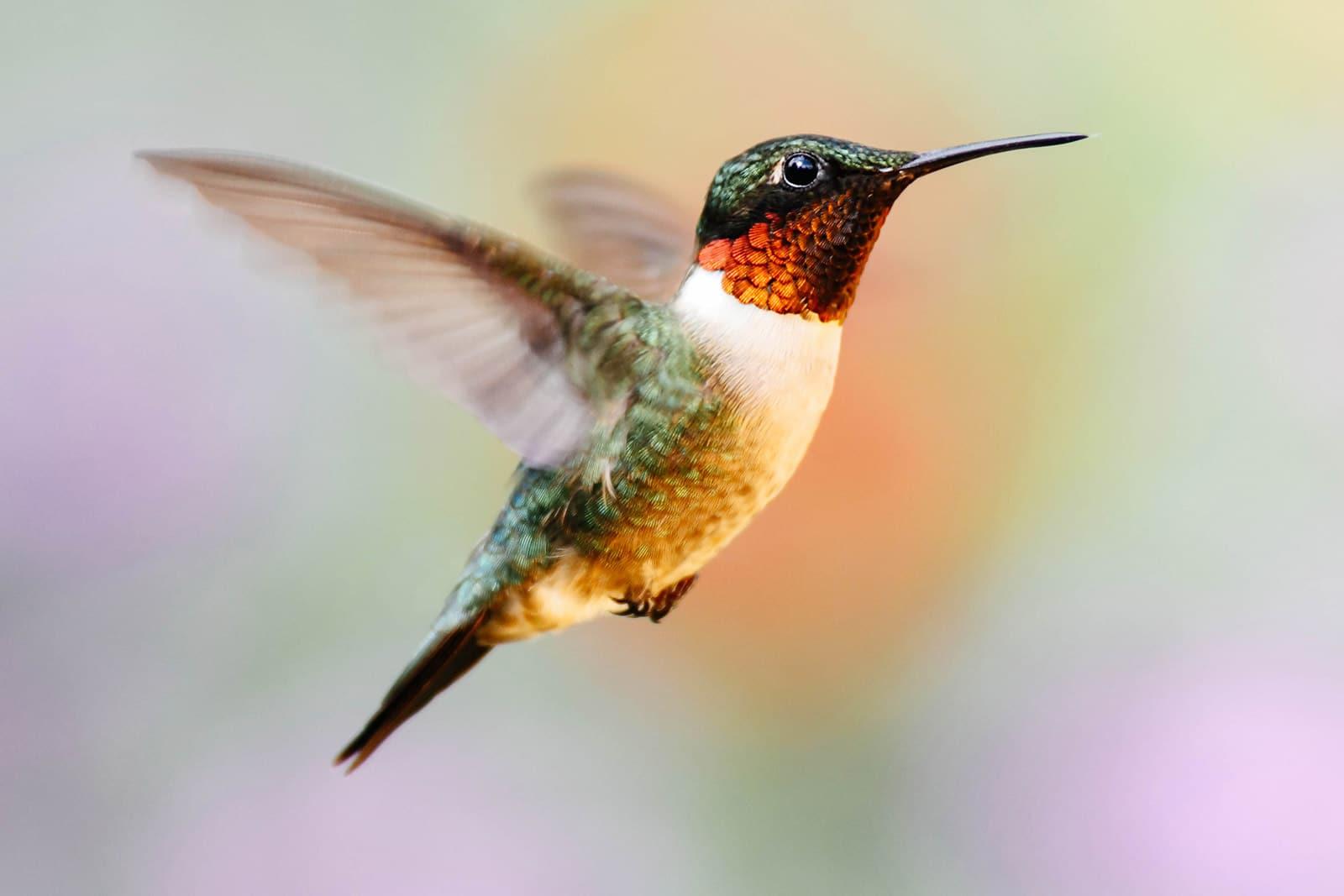 Close-up of hummingbird in mid-flight