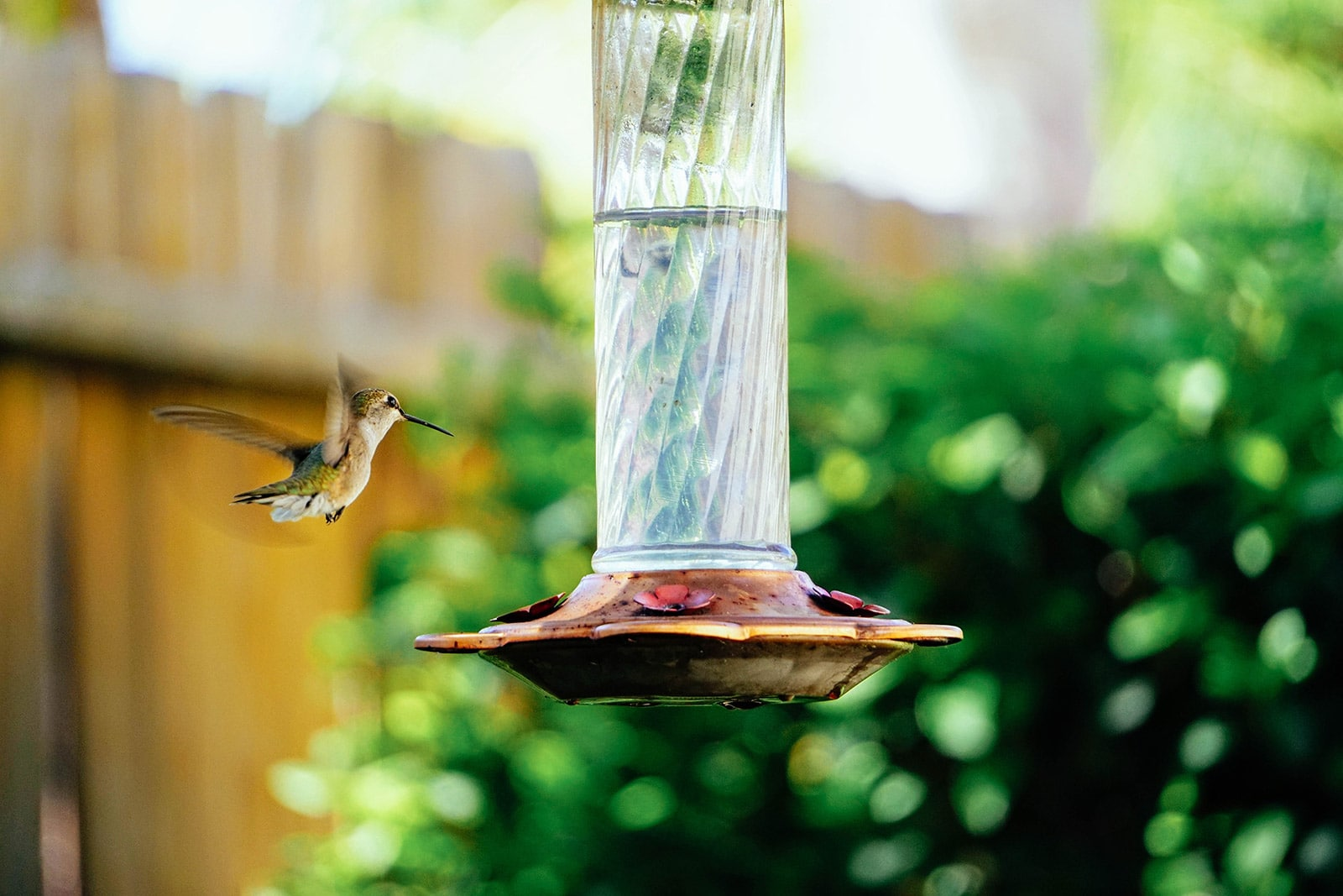 Hummingbird flying to a hanging feeder in the garden