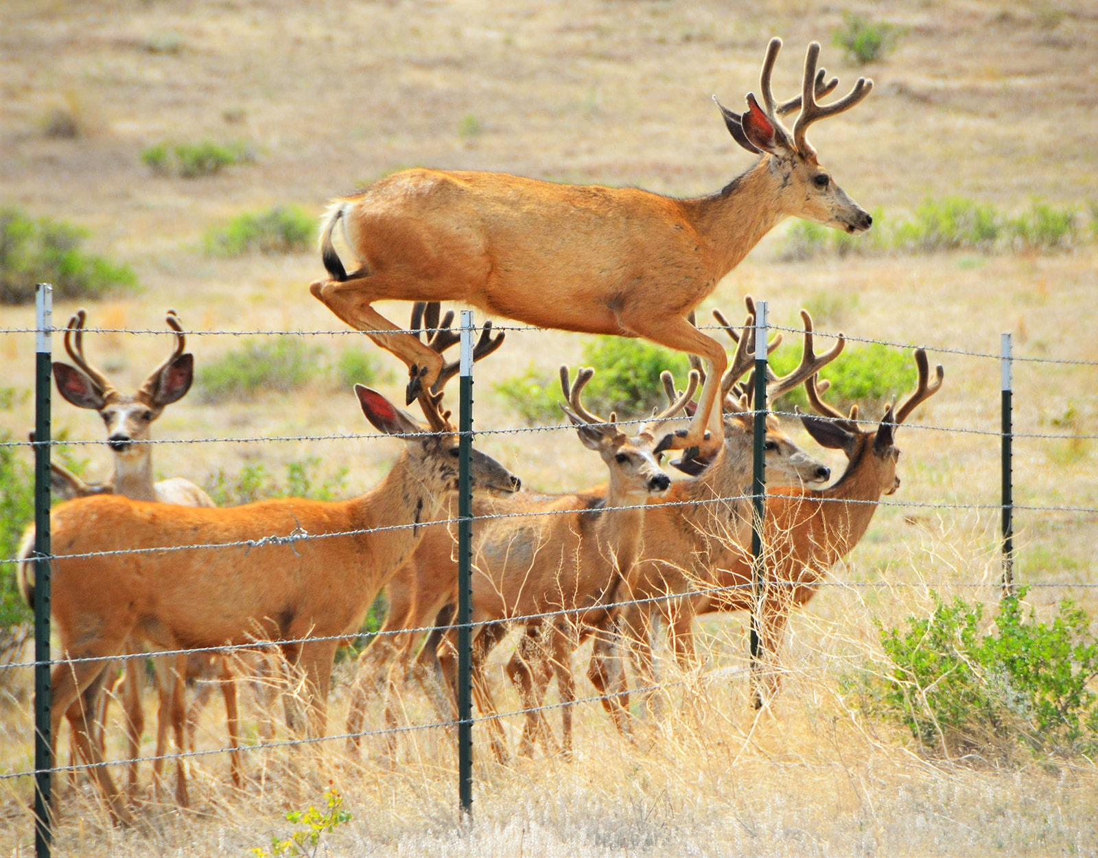 Deer jumping over a wire fence
