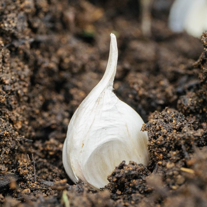 Get your garlic on: planting and growing garlic the easy way