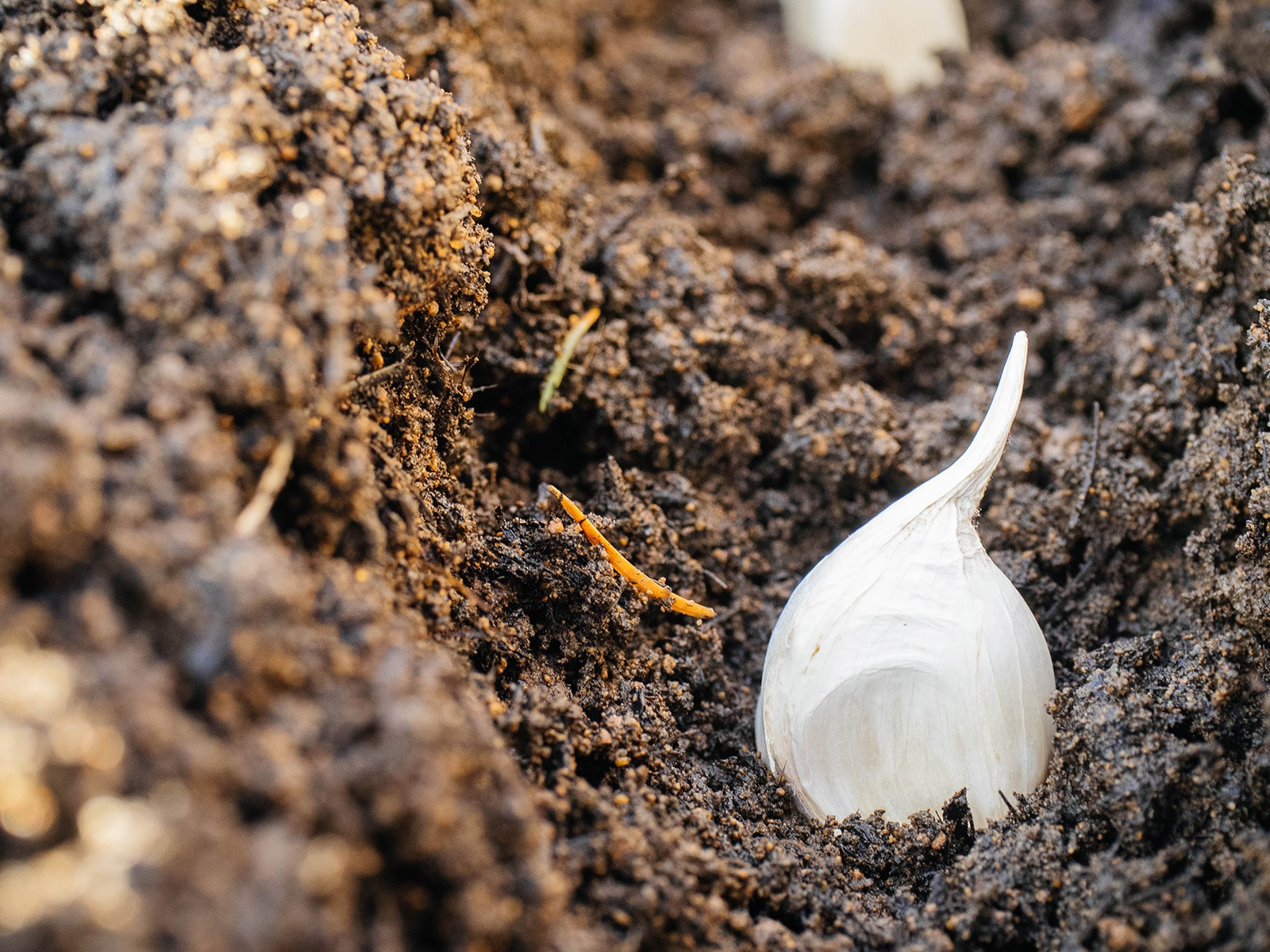 Close-up of garlic clove in a trench