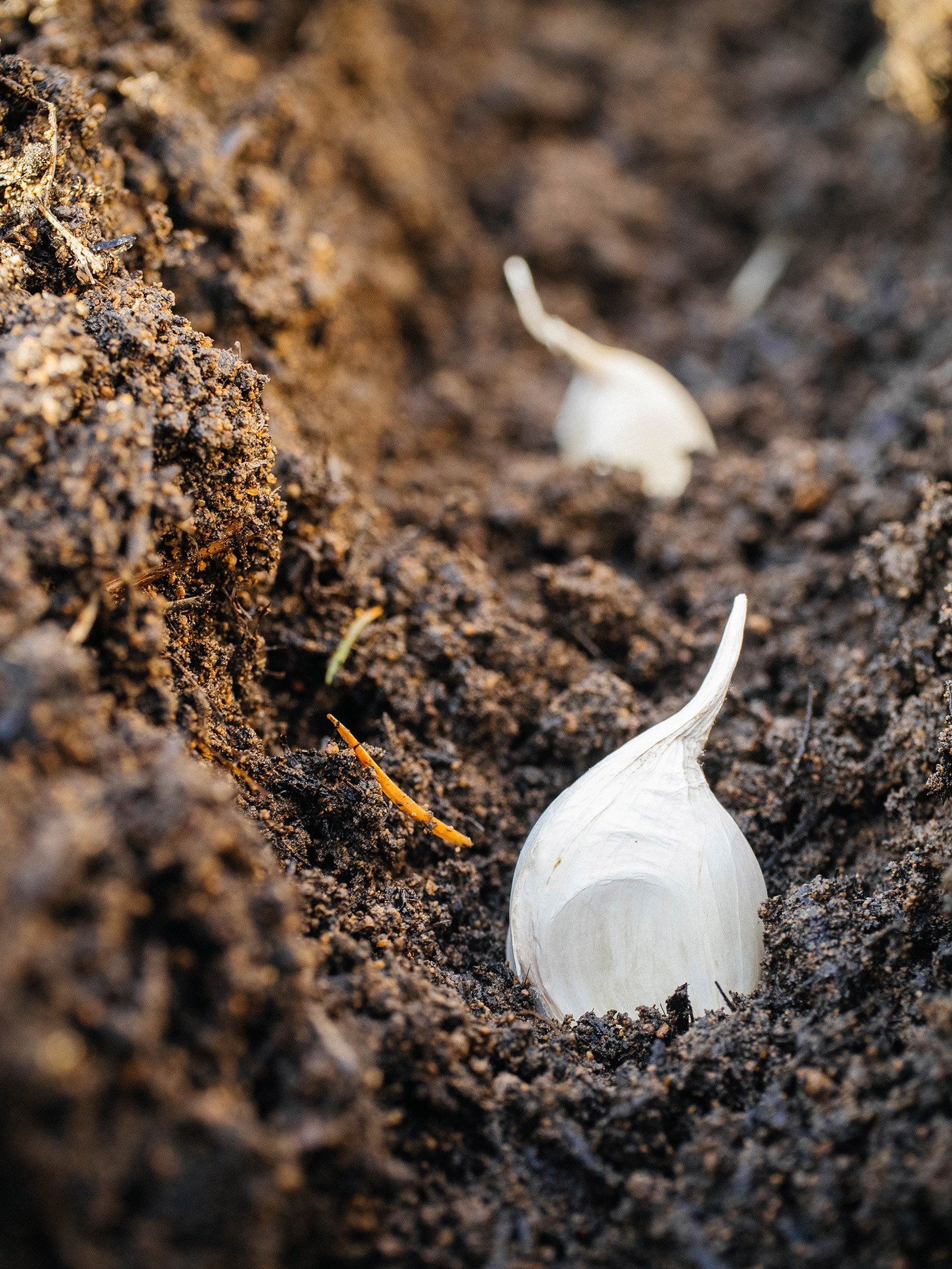 Close-up of garlic cloves planted in a furrow