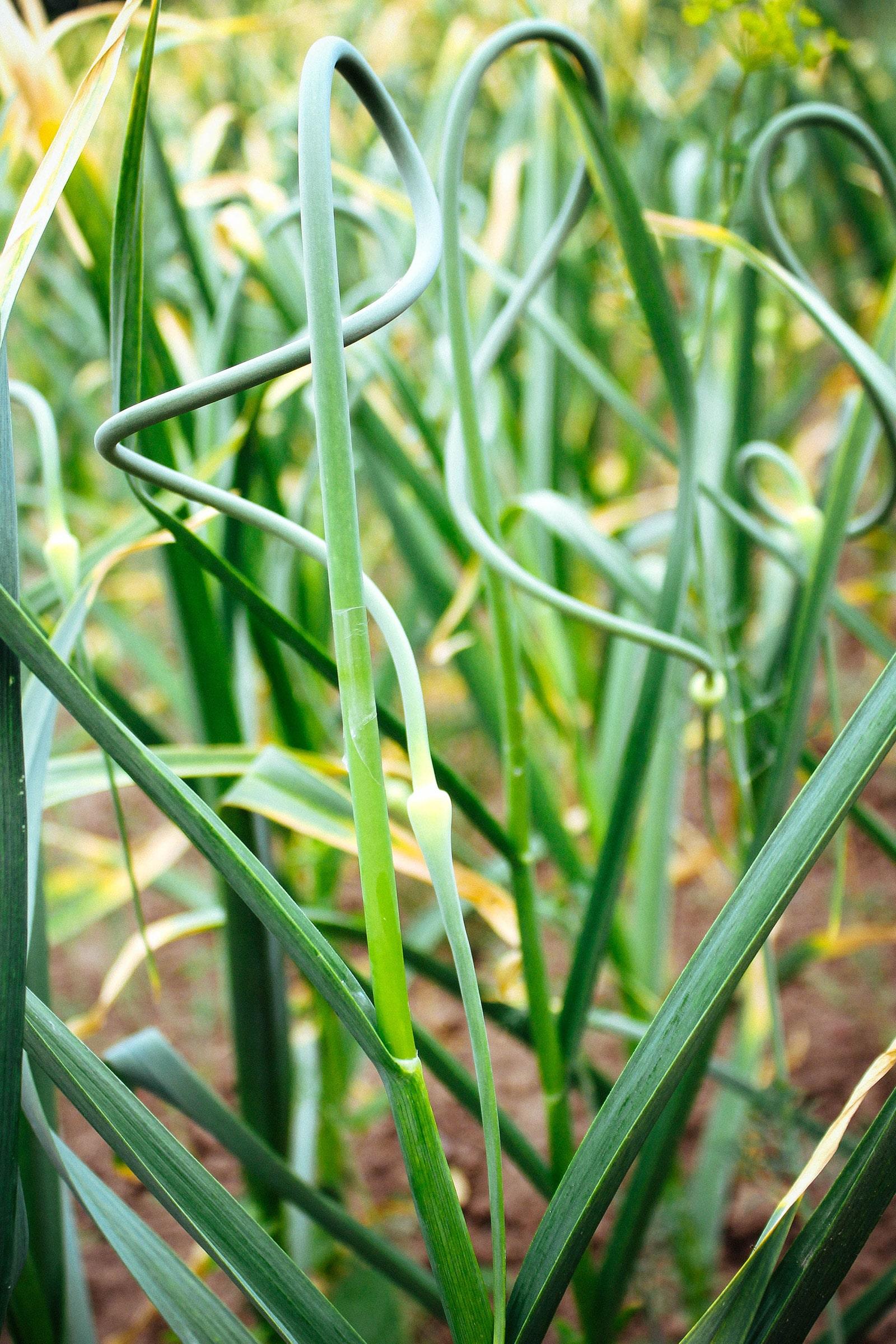 Scapes on hardneck garlic plants