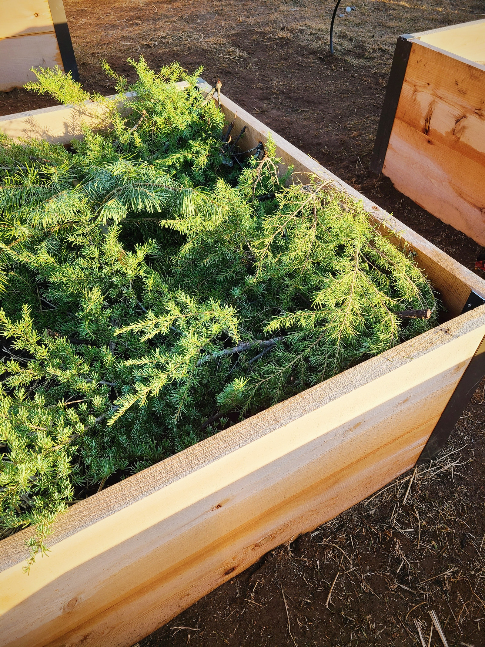 A raised bed covered in evergreen boughs used as mulch