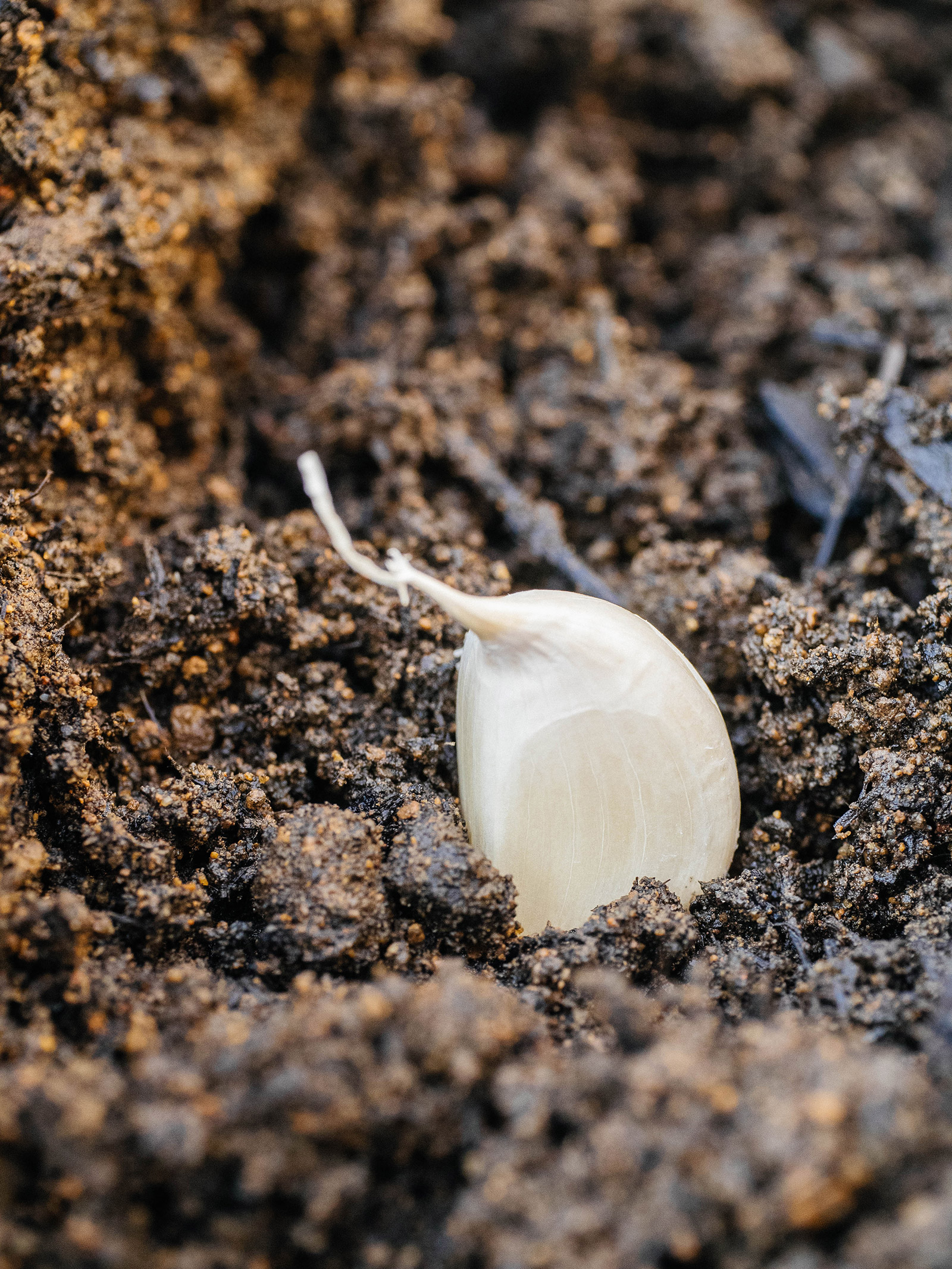 Close-up of garlic clove planted in soil