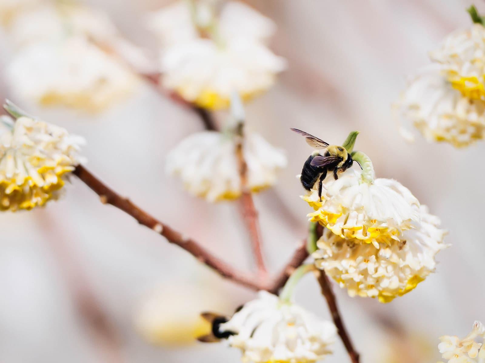 Carpenter bee feeding on nectar from white flowers