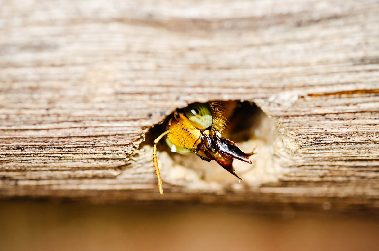 Carpenter bee peering out of a hole in the wood