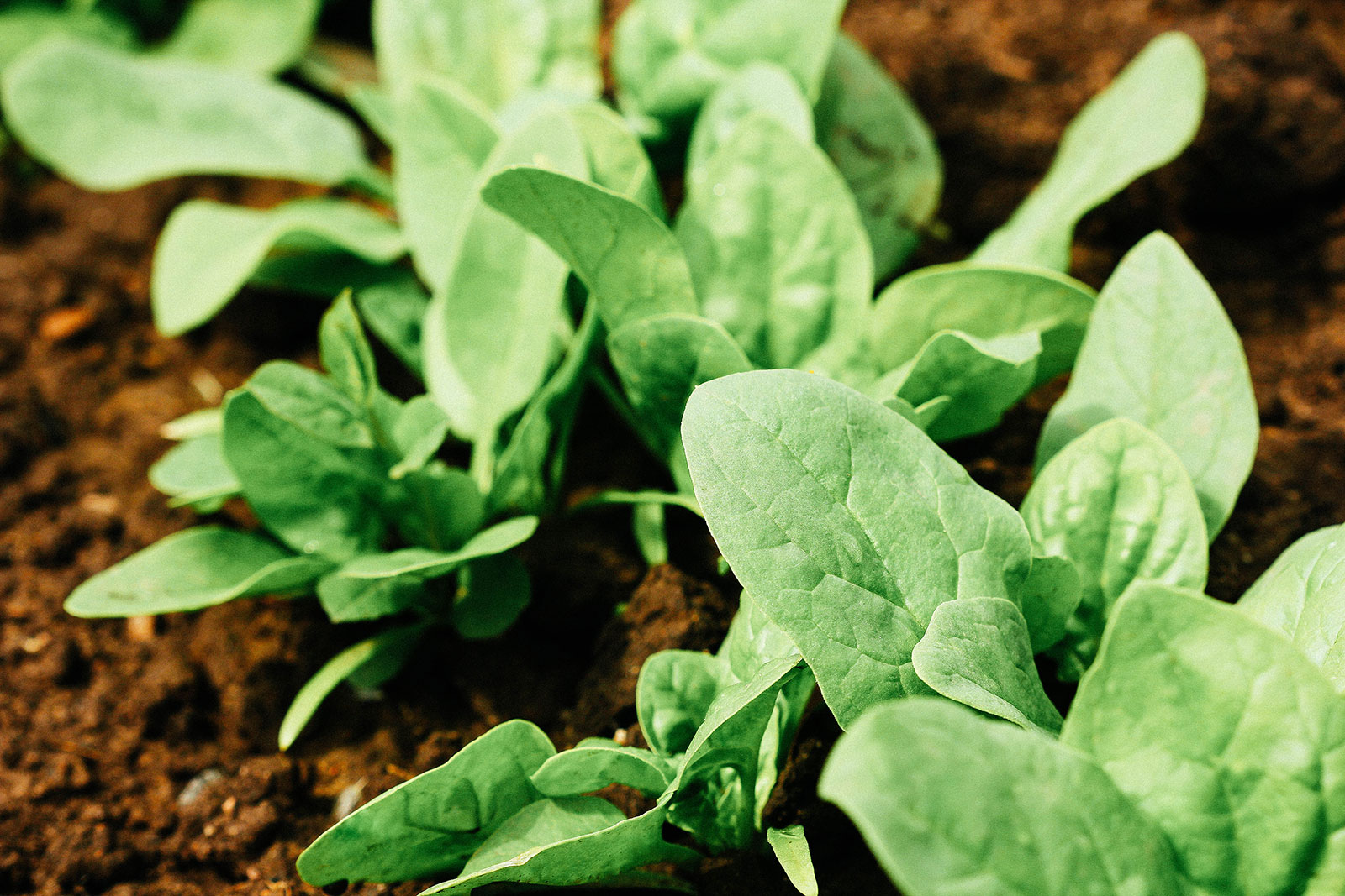 Frost-tolerant spinach plants