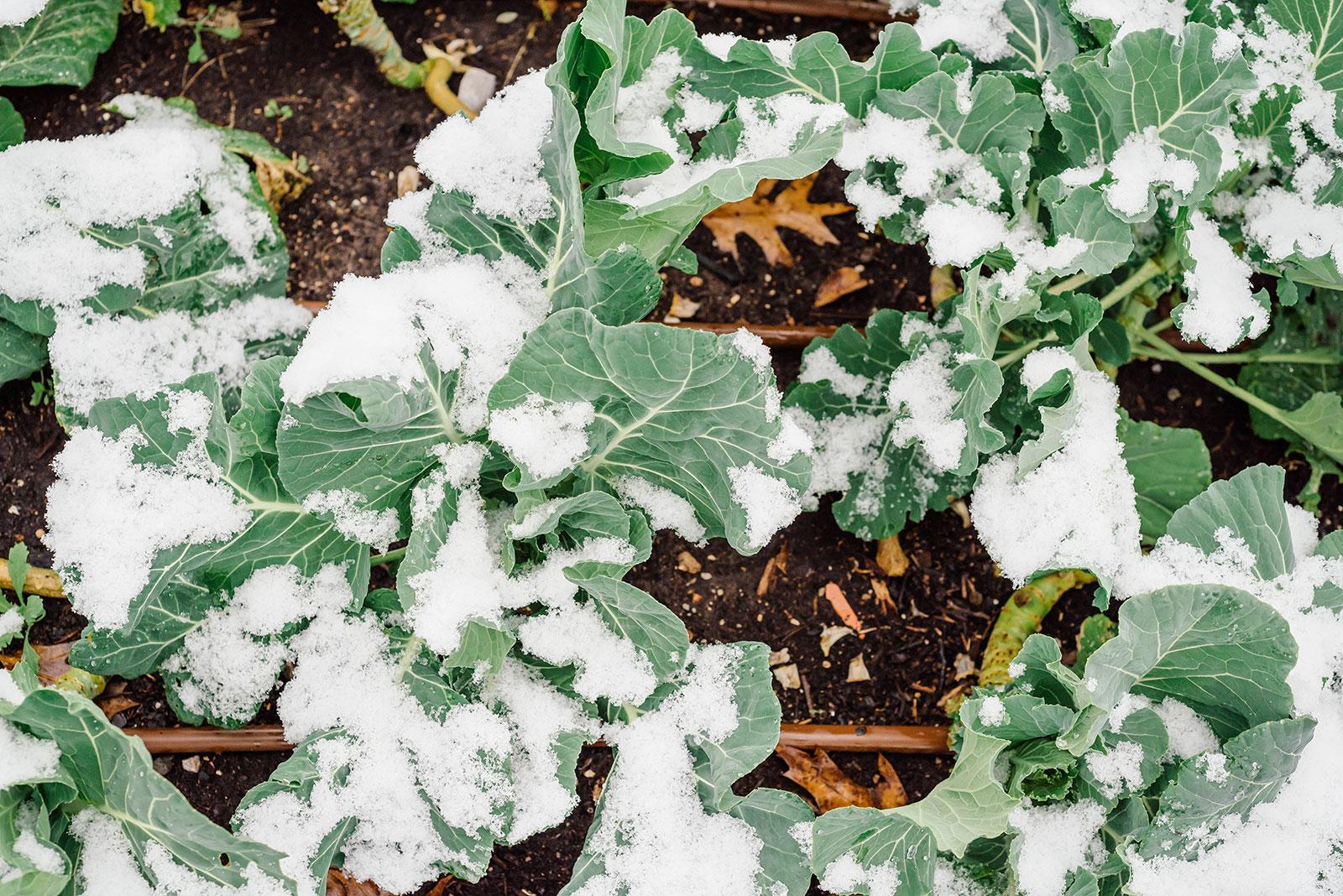 Snow-covered collard greens in a garden