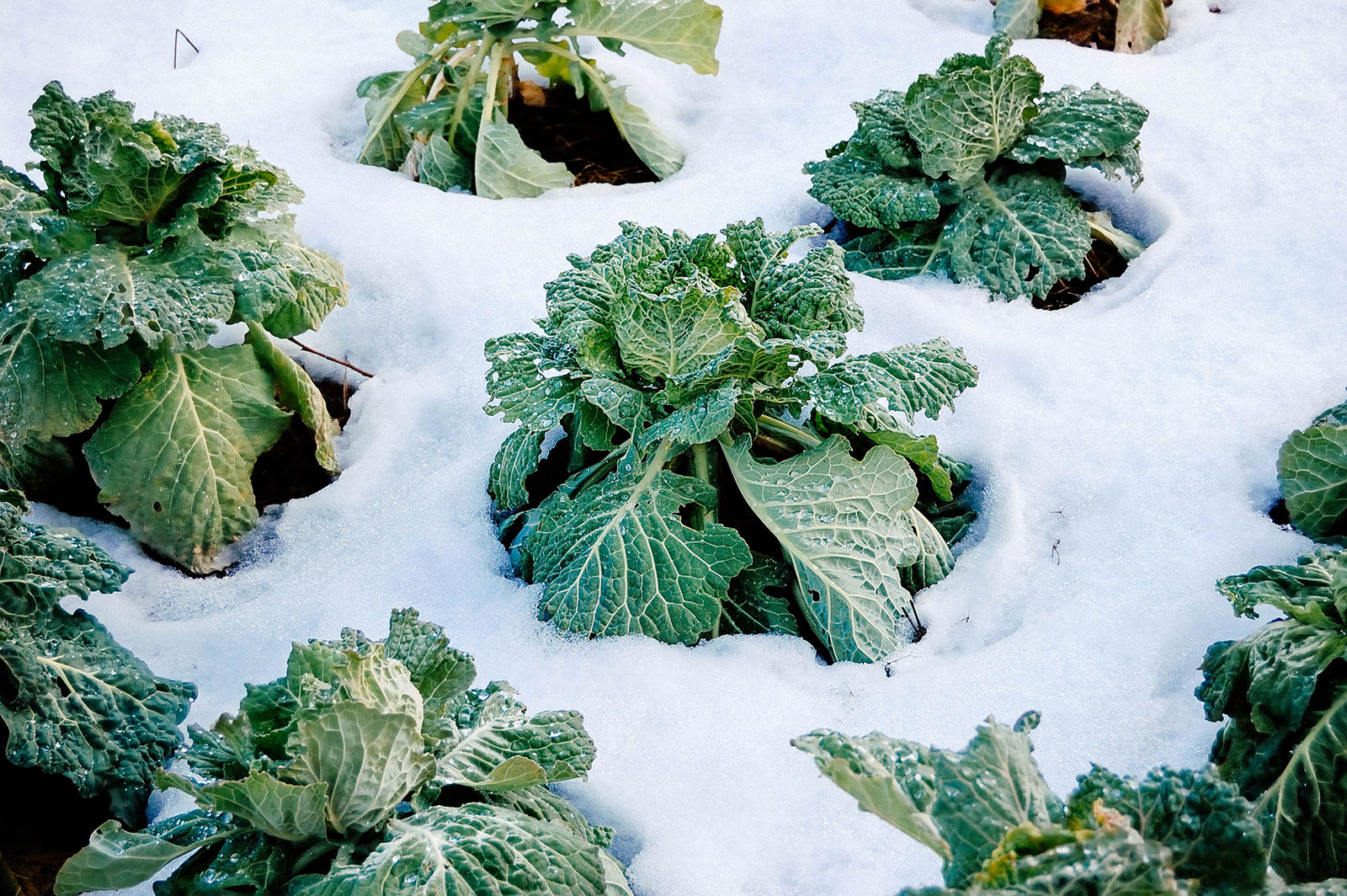 Cabbage plants surrounded by a blanket of snow
