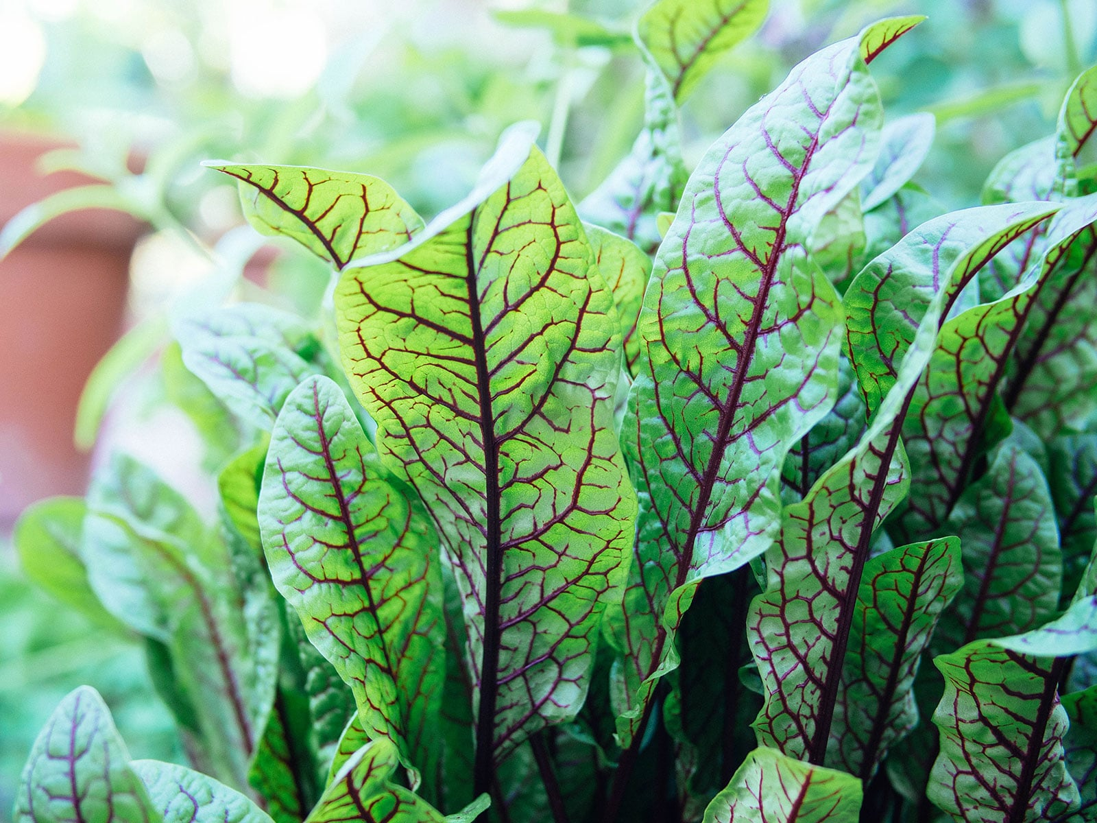 Close-up of red-veined sorrel (bloody dock) leaves