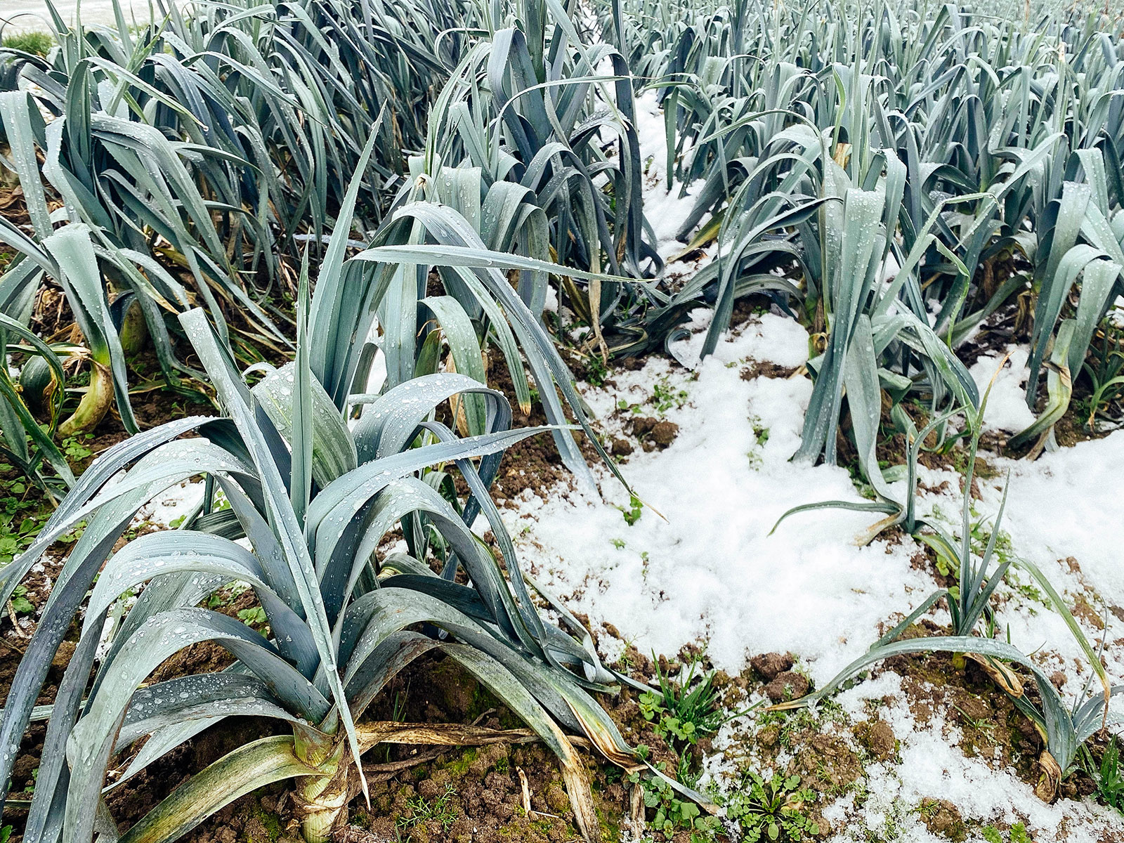 Freeze-resistant leek plants growing in winter with snow on the ground