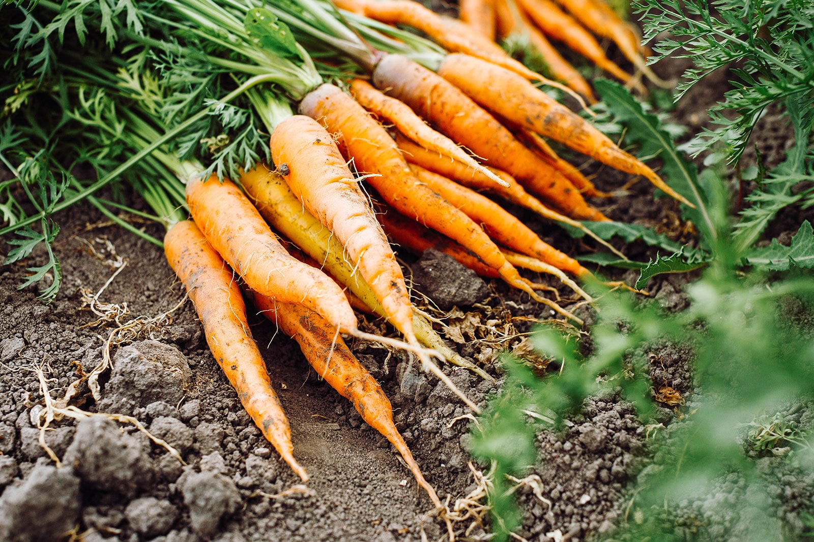 Freshly harvested orange carrots in a garden