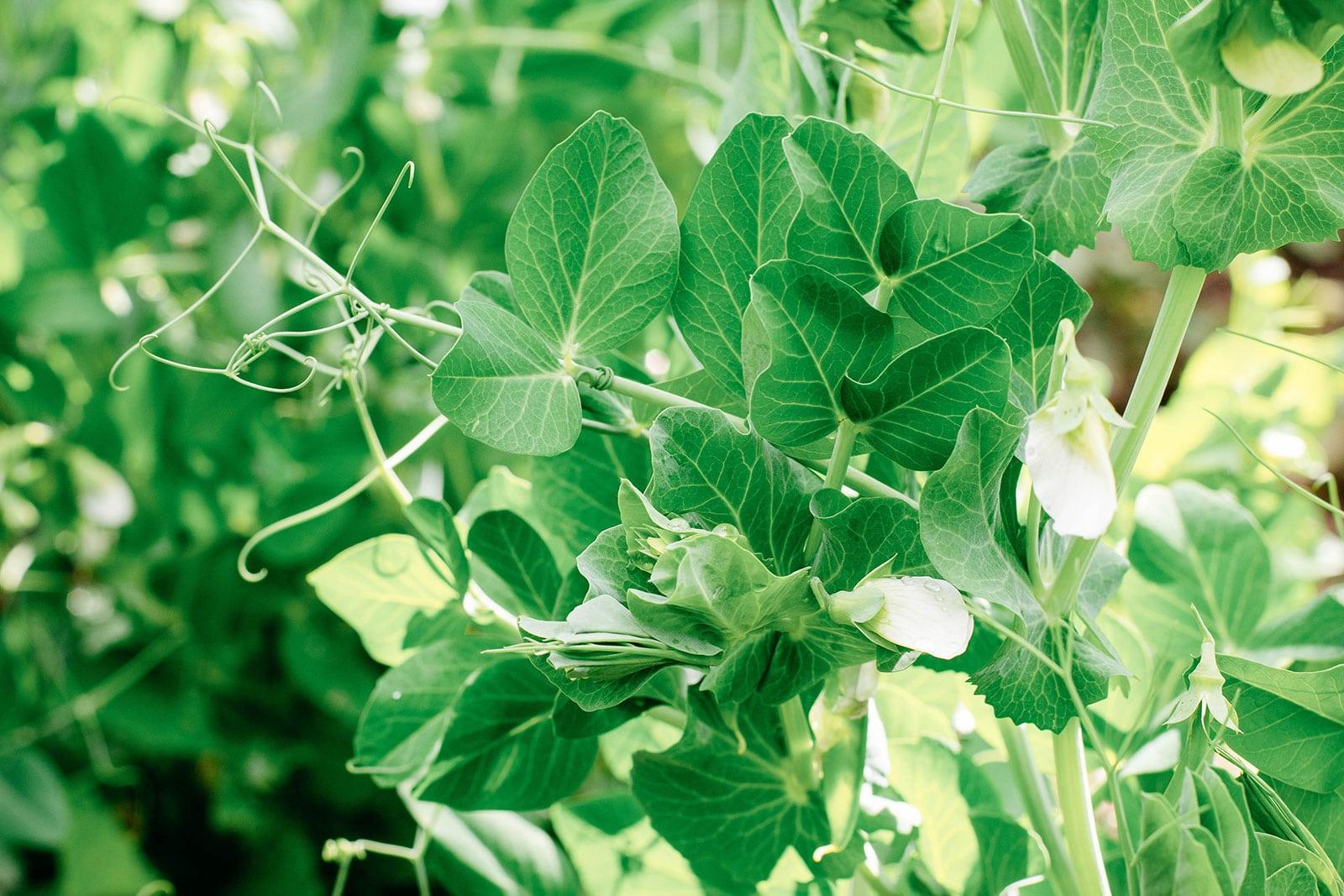 Cold-hardy Austrian winter pea plants in a garden